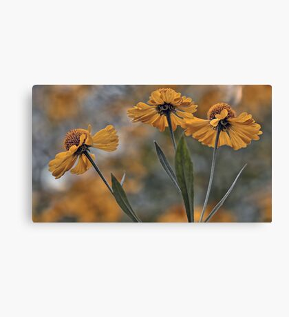 False Sunflower (Helenium) Canvas Print