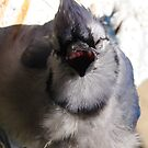 Sunning bluejay 1 by InKibus