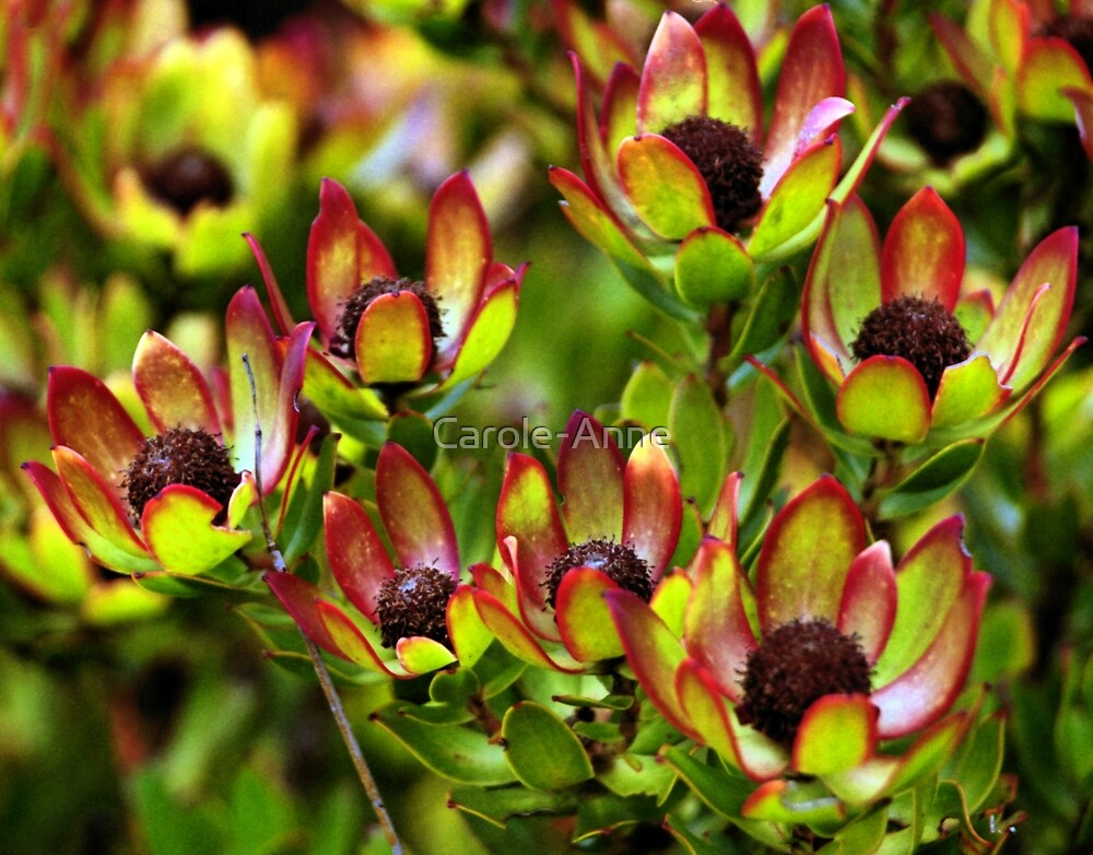 Flowers of the Fynbus, Table Mountain, South Africa by Carole-Anne