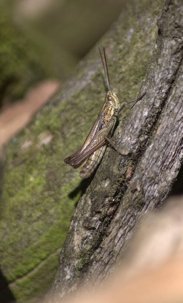 Lesser Marsh Grasshopper by brianfuller75