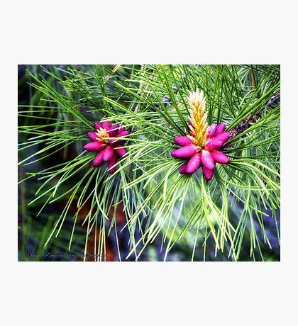 New Life (Ponderosa Pine) Photographic Print