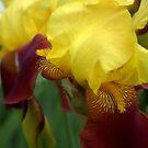 Pretty Iris by Mechelep