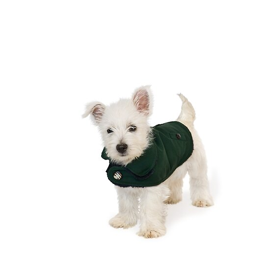Westie Pup in Coat by Natalie Kinnear