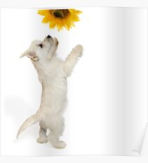 Westie Pup and Sunflower Poster