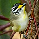 Pardalote by Lance Leopold