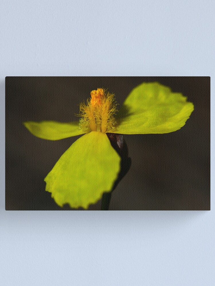Alternate view of Xyris juncea Canvas Print