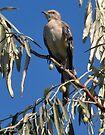 Northern Mockingbird by Elaine Manley