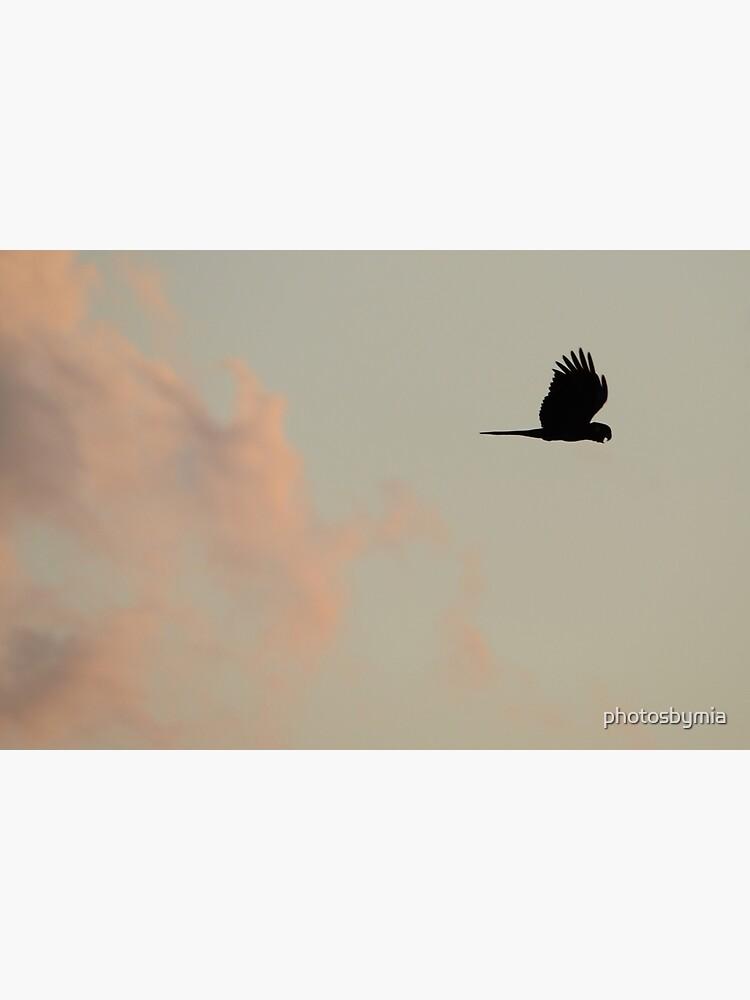 Flight of the Black Cockatoo by photosbymia