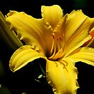 Yellow Day Lily by Mechelep