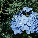 Bashful Blue by Richard G Witham