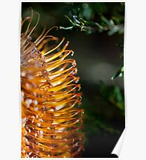 Banksia Bathed in Sunlight Poster