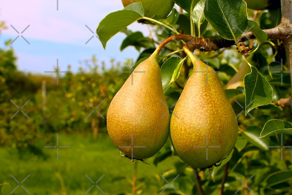 Two ripe pears by qiiip