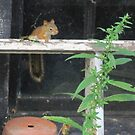 Fledgling American red squirrel by Ray Vaughan