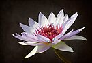 Water Lily by KBritt