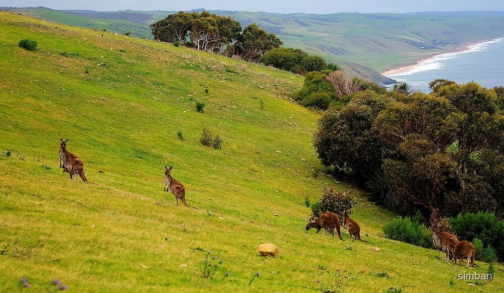 Kangaroos with Joeys grazing by simban