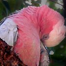 Female Pink And Gray Galah, Cleaning Herself. by Toni Kane