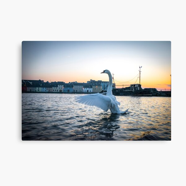 Swan at Sunrise Opposite the Old Long Walk, Galway Canvas Print