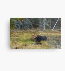 Bull Moose, Algonquin Park Metal Print