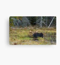Bull Moose, Algonquin Park Canvas Print