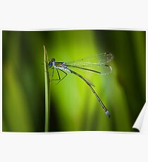Emerald Damselfly - Lestes sponsa Poster