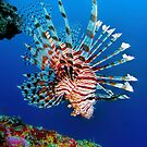 Lionfish at Apo Reef by Henry Jager