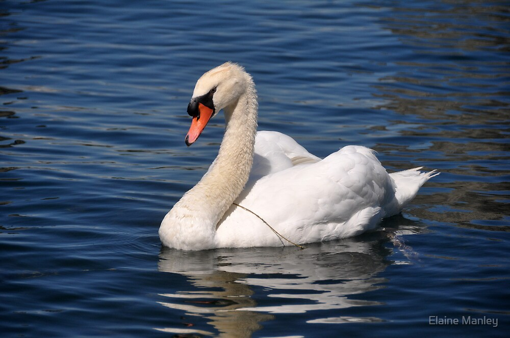 The Swan by Elaine  Manley