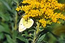 Sulphur Butterfly  by Elaine Manley