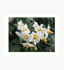 Blossoms White And Yellow Garden Blossoms Art Print