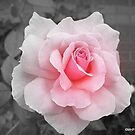 Pretty in Pink Rose by Mechelep