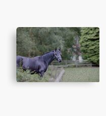 Warmblood gelding Canvas Print