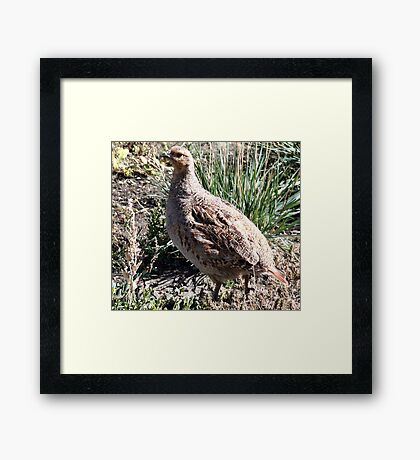 Sharp Tailed Grouse Framed Print