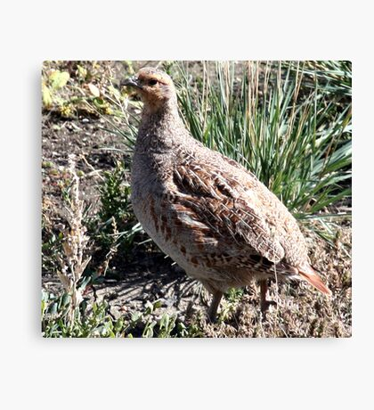 Sharp Tailed Grouse Canvas Print
