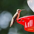 Ruby Throated Hummingbird by G. David Chafin