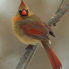 Female Northern Cardinal - Bay Beach Wildlife Sanctuary by Jeff Weymier