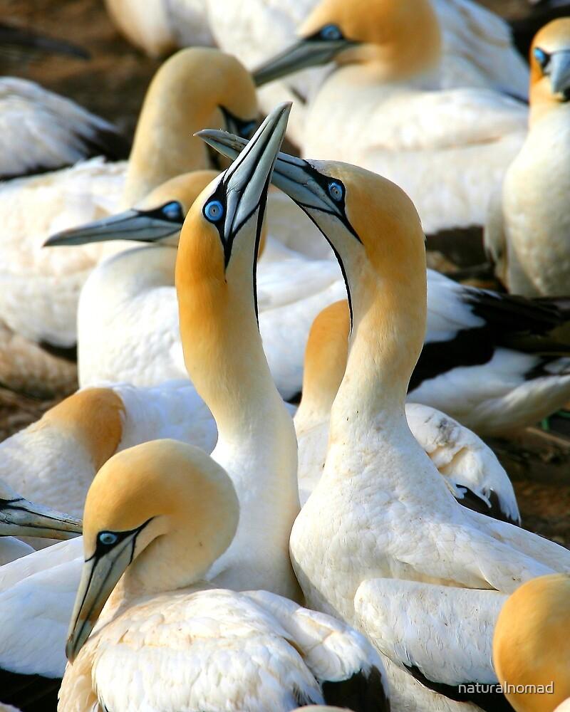 Cape Gannet Courtship by naturalnomad