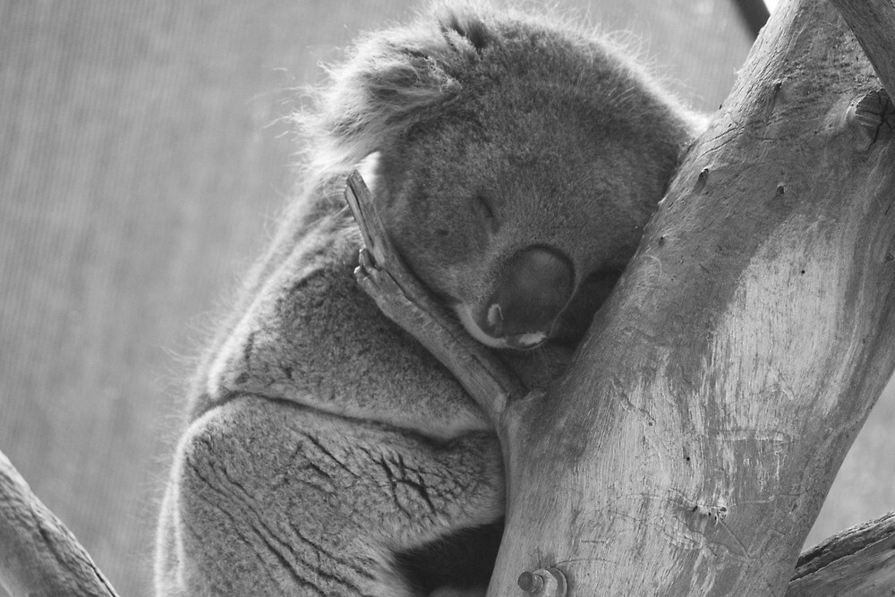 Quot Black And White Sleeping Koala In Tree Quot By Danibrown