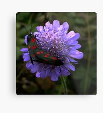 6 spot Burnet Moths Metal Print