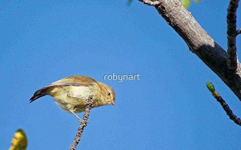 Weebill,Kalgoorlie West Australia by robynart
