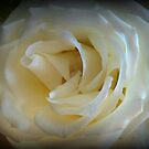 White Rose by debbiedoda