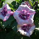 Beautiful Purple Trumpets. by Lee d'Entremont