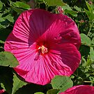 Raging Red Hibiscus. by Lee d'Entremont