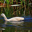 Black Swan Cygnet by Geoff Beck