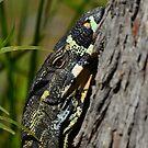 Lace Monitor (Varanus varius) by Geoff Beck