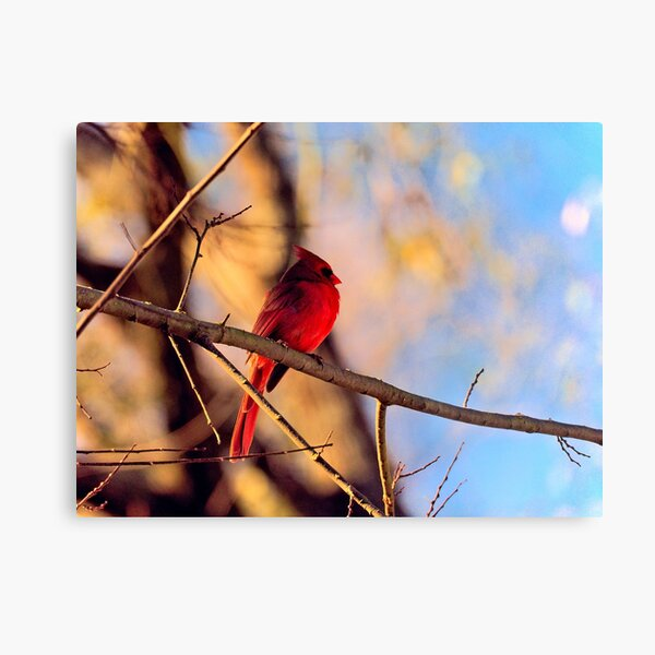 Cardinal in the Morning Sun Metal Print