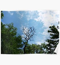 Leafless tree of acacia Poster