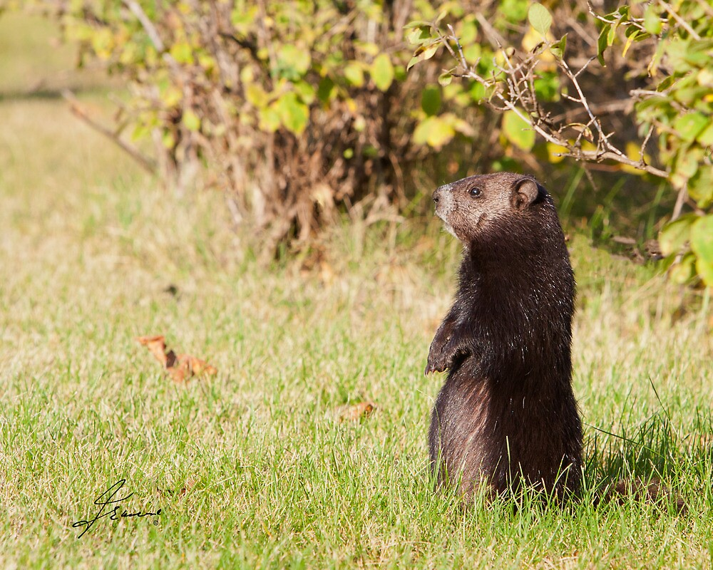 Black Coat Groundhog by DigitallyStill