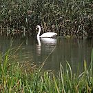 Swan on the River Itchen at St Cross, Winchester, southern England. by Philip Mitchell
