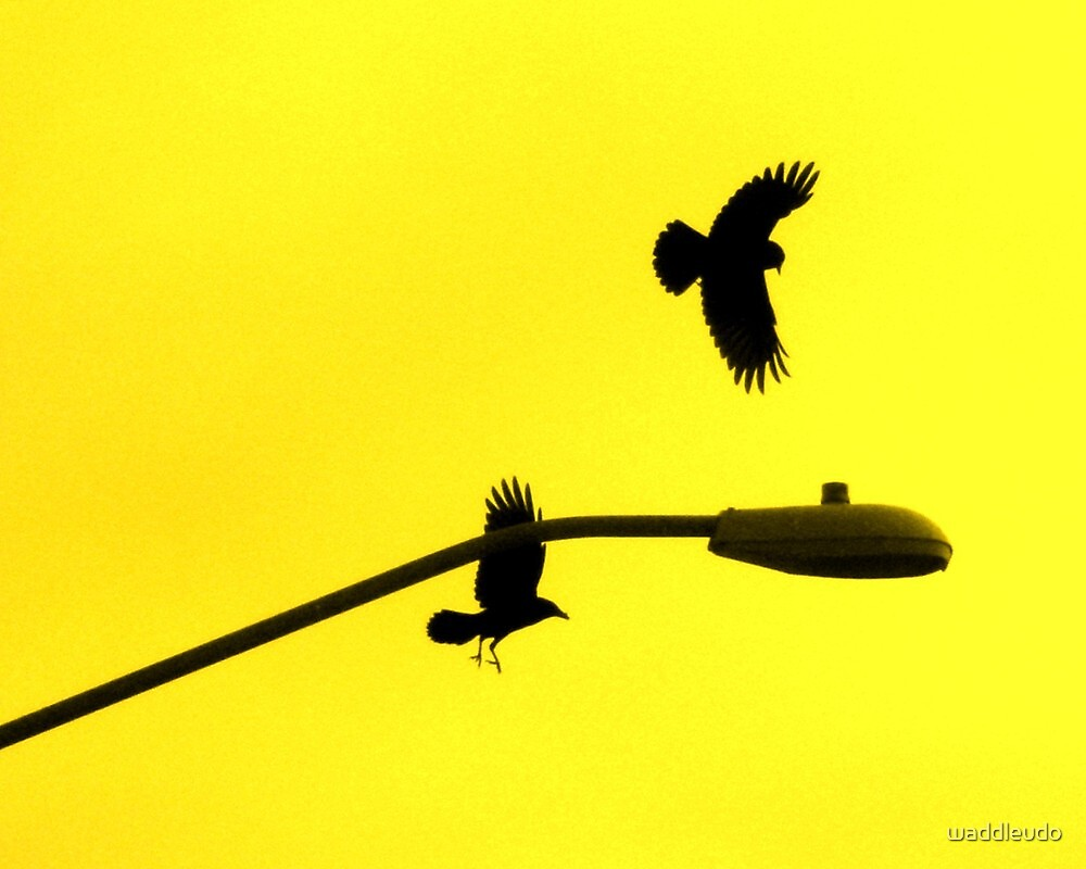 """""""Contrasting Crows"""" by waddleudo"""