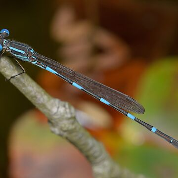 Wandering ringtail - Austrolestes leda by andrewtj