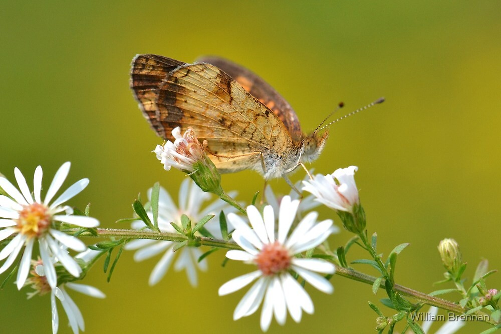 Dining On Aster by William Brennan